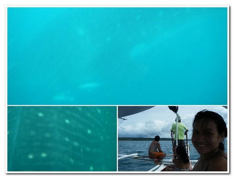 Butandings oftewel walvishaaien in Donsol - Filipijnen