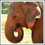 Olifantenopvang Pinnarawela nabij Kandy