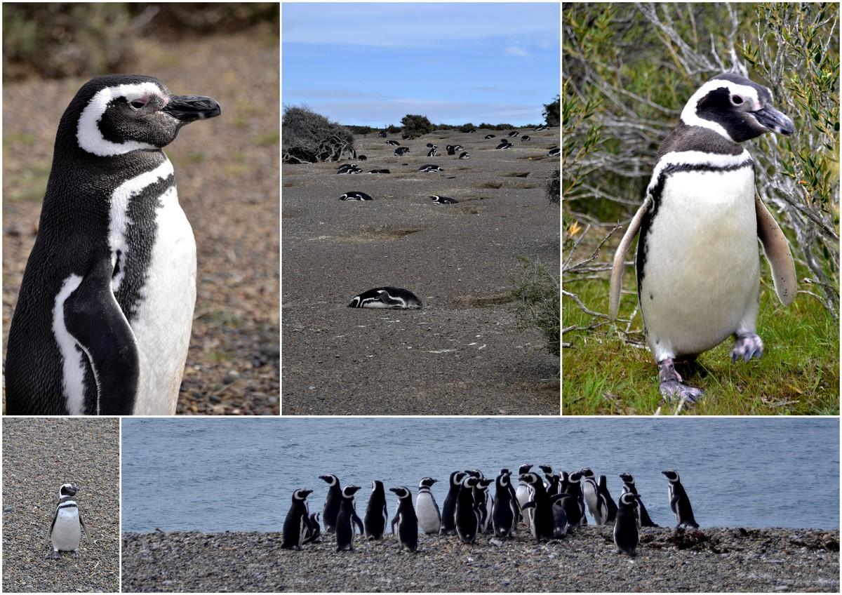 pinguins Argentinie