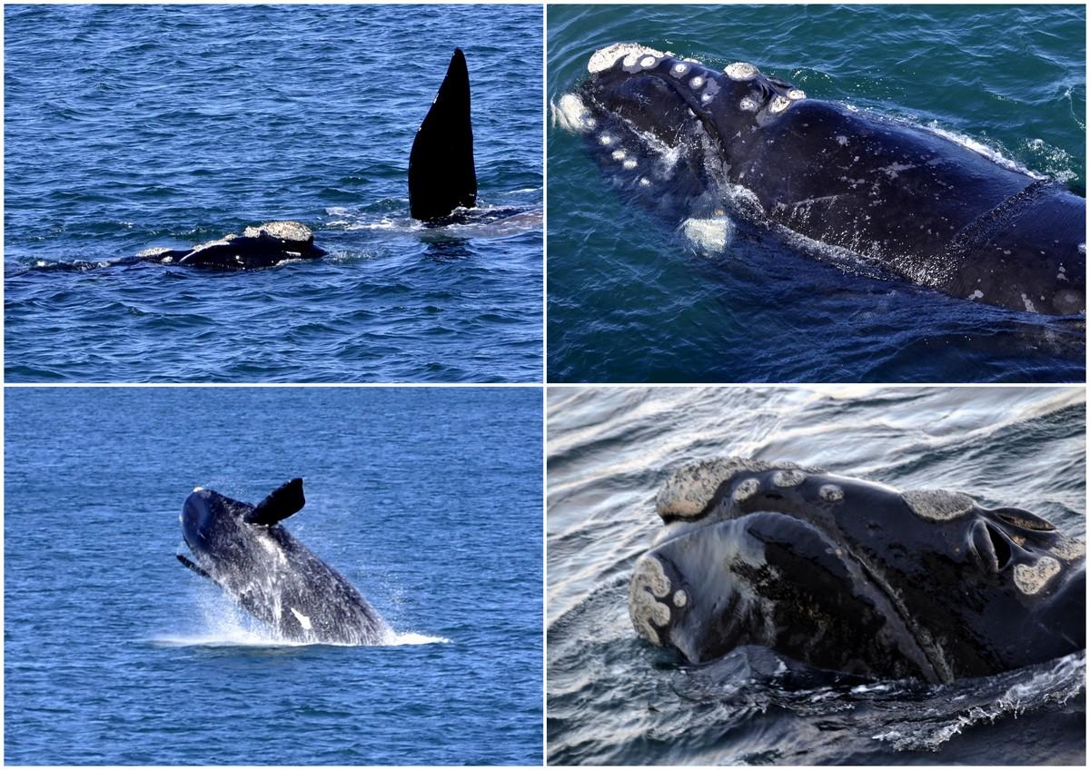 Patagonische walvissen