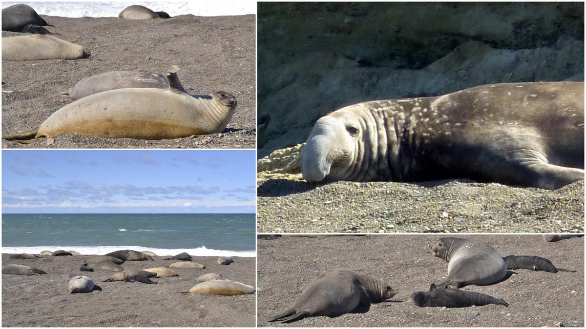 zeeolifanten patagonie