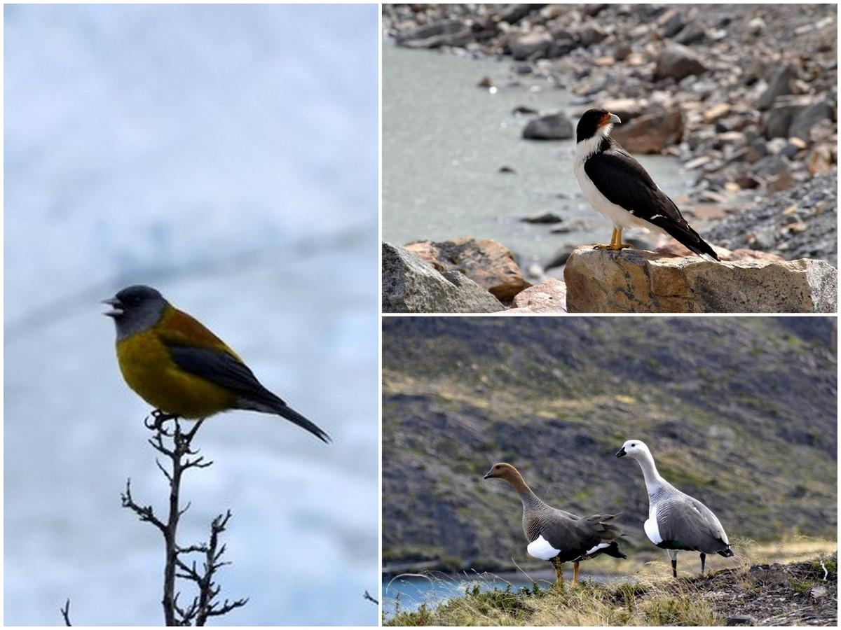 Patagonische vogels